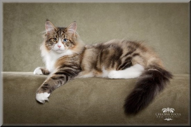 Welcome To Maine Lvrs Cattery Maine Coon Cat Breeder Ohio
